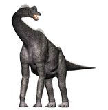 Brachiosaurus Dinosaur Full body. Brachiosaurus Full body front view. Neck and head up. A genus of sauropod dinosaur from the Jurassic Morrison Formation of Royalty Free Stock Photography