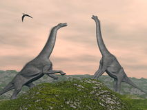 Brachiosaurus dinosaurs fight - 3D render. Two brachiosaurus dinosaurs fighting by cloudy sunset, pteranodon bird flying Royalty Free Stock Photos