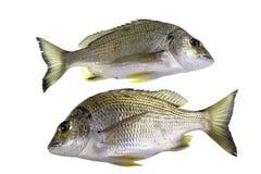 Brachsen-Flussbarsch-Fische Stockfotografie