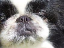 Brachycephalic Hund stockbilder