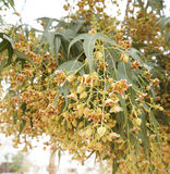 Brachychiton populneus blossom. Little tiny flowers of Brachychiton populneus tree Stock Photos