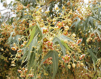 Brachychiton populneus blossom. Little tiny flowers of Brachychiton populneus tree Stock Photography