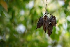 Brachychiton populneus seed pods royalty free stock photo