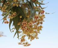 Brachychiton populneus tree blossom. Tiny reddish flowes of Brachychiton populneus tree Royalty Free Stock Photos