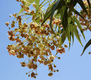 Brachychiton populneus tree blossom. Tiny reddish flowes of Brachychiton populneus tree Royalty Free Stock Photo