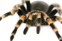 Brachypelma Stock Photos