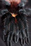 brachypelma albiceps Стоковые Фото