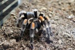 Brachypelma Annitha Tarantula stock images
