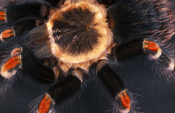 The Brachypelma auratum Royalty Free Stock Photo