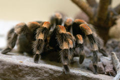 Brachypelma smithi Royalty Free Stock Photos