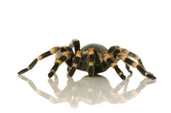 Brachypelma smithi. In front of a white backgroung Stock Images