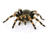 Brachypelma smithi. In front of a white backgroung Royalty Free Stock Images