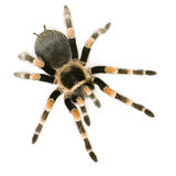 Brachypelma smithi. In front of a white backgroung Stock Photos