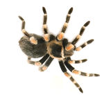 Brachypelma smithi. In front of a white backgroung Stock Image