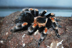 Brachypelma Smithi Mexican Redknee. Bird spider tarantula in a vivarium with tropical setting Royalty Free Stock Image