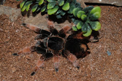 Brachypelma Smithi Mexican Redknee Royalty Free Stock Photography