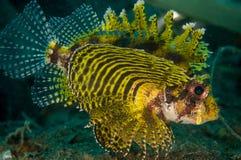 Brachypterus di Dendrochyrus del lionfish di Shortfin in Gorontalo, foto subacquea dell'Indonesia Immagine Stock