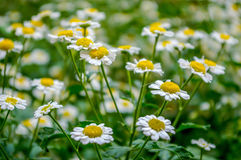 Brachyscome. Or chamomile. flowers on the flowerbed in the field royalty free stock photography