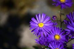 Brachyscome púrpura imagen de archivo libre de regalías