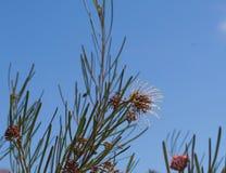 Brachystachya de Grevillea dans la pleine fleur Photo libre de droits