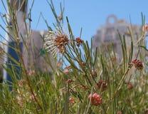 Brachystachya de Grevillea en flor lleno Fotos de archivo libres de regalías