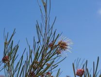 Brachystachya de Grevillea en flor lleno Foto de archivo libre de regalías