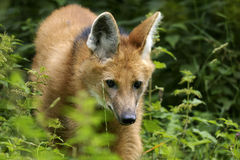 brachyurus chrysocyon有鬃毛的狼 库存照片