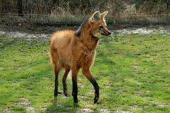 brachyurus chrysocyon有鬃毛的狼 免版税库存照片