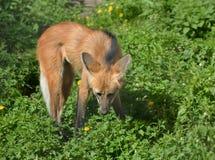 Brachyurus Chrysocyon с гривой волка, оно носит небольшие сходства к красной лисе Стоковая Фотография