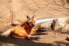 Brachyurus de Chrysocyon de loup Maned Image libre de droits
