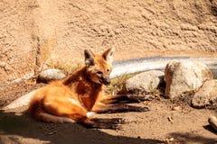 Brachyurus de Chrysocyon de loup Maned Photo libre de droits