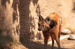 Brachyurus de Chrysocyon de loup Maned Photos stock