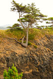 Bracing For The Fall. Tree Bracing For The Fall into the Pacific Ocean.  At Yaquina Head, Oregon Royalty Free Stock Photos
