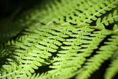 Bracken. Macro shot on bracken leafs ideal for backgrounds and textures stock image