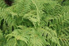 Bracken. It is densely growing green bracken Royalty Free Stock Image