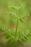 Bracken (aquilinum del Pteridium) in foresta verde immagini stock