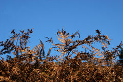 Bracken in autumn. Colours against blue sky Royalty Free Stock Photography
