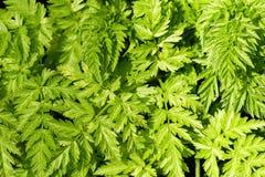 Bracken Background. Close up detail of bracken fern stock photo