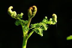 Bracken. Or brake (Pteridium aquilinum),young frond stock image