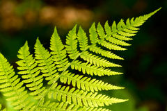 Bracken, close up photo Royalty Free Stock Photo