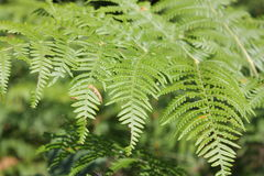 Bracken or eagle fern Stock Image