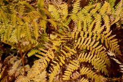 Bracken Fern Royalty Free Stock Image