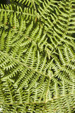 Bracken fern background Royalty Free Stock Image