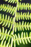 Bracken/Fern Leaf Close-Up stock afbeelding