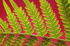 Bracken Fern Leaf Stock Photography