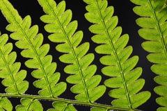 Bracken Fern Leaf Royalty Free Stock Photos