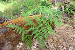 Bracken fern Pteridium species West Australia. The common Bracken fern Pteridium species in the Boranup Forest south west Australia is one of the oldest and most stock photography