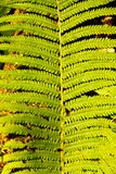 Bracken Stock Photo