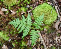 Bracken leaf and mosses on forest floor. Stock Photography