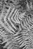 Bracken leaves. Black and white image of frozen bracken leaves on forest floor Royalty Free Stock Images